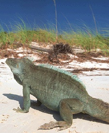 Iguana on the island of Little Water Kay